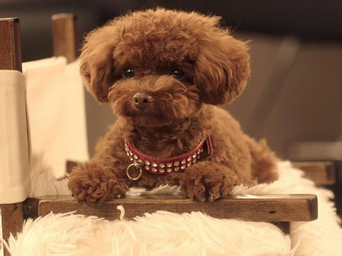 Katy Perry's teacup poodle has his own TV advert because he is better than you