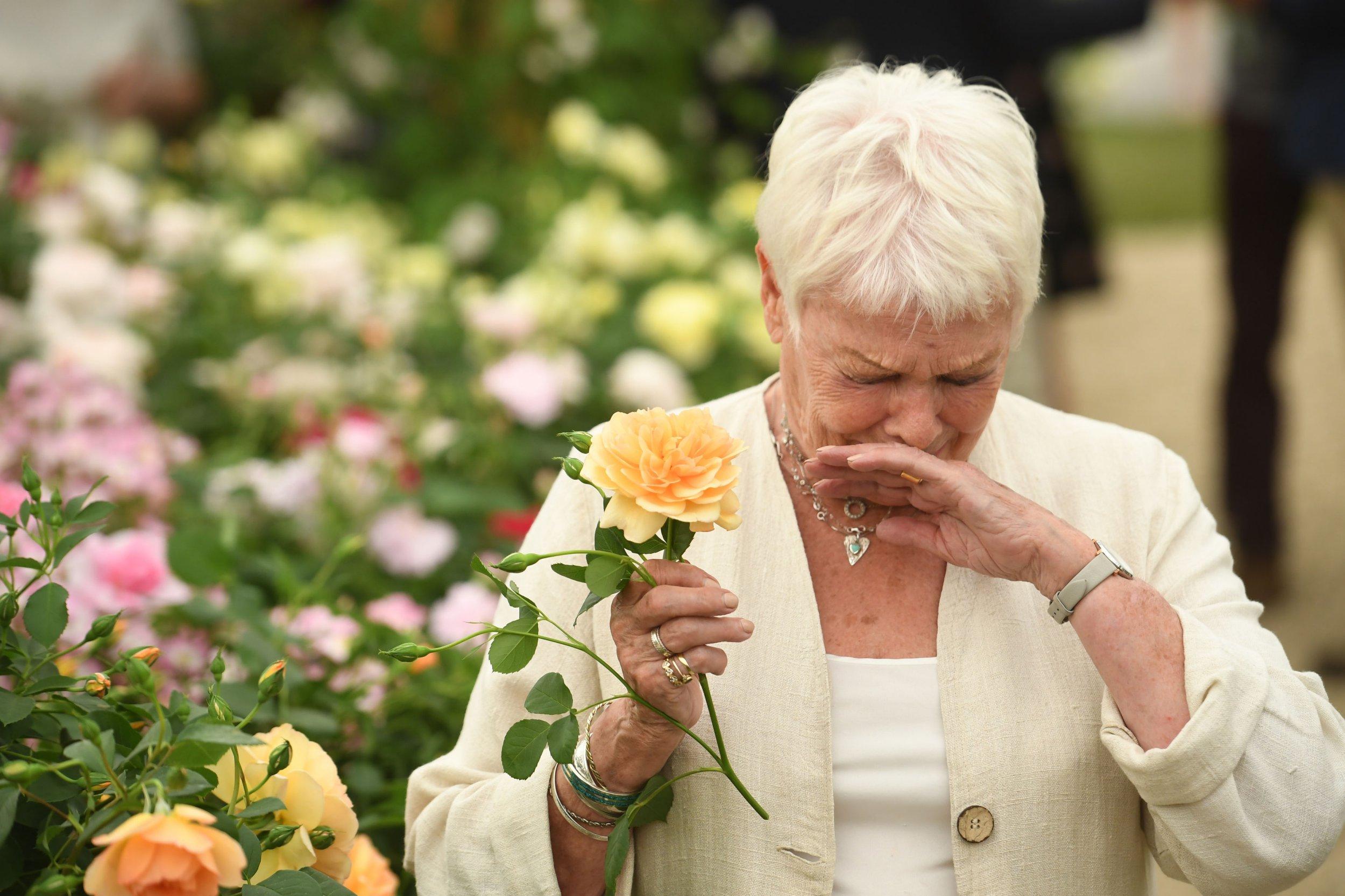 Judi Dench sneezes after sniffing on rose named after her at Chelsea Flower Show