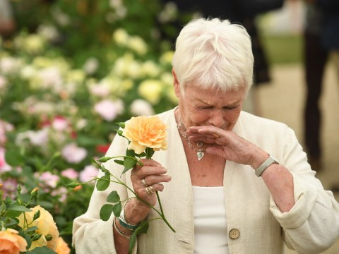 Judi Dench sneezes after sniffing on rose named after her at Chelsea Flower Show