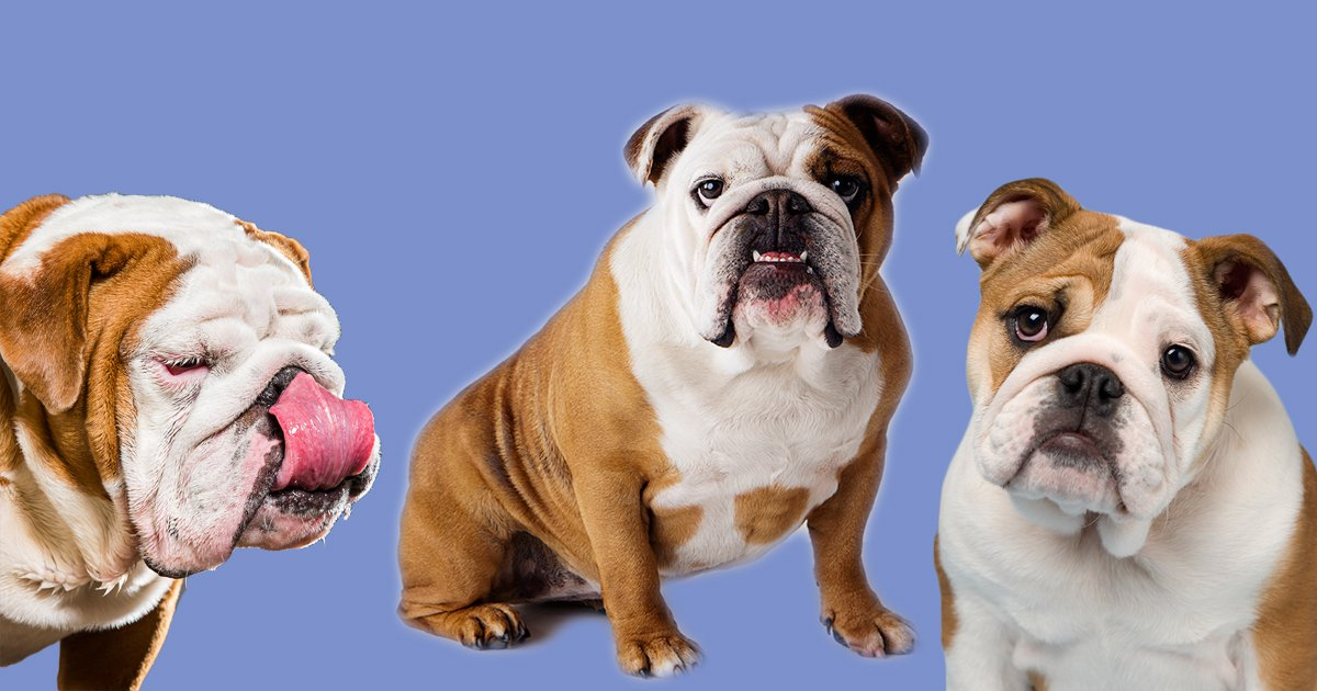 17 things you only know if you own an English Bulldog
