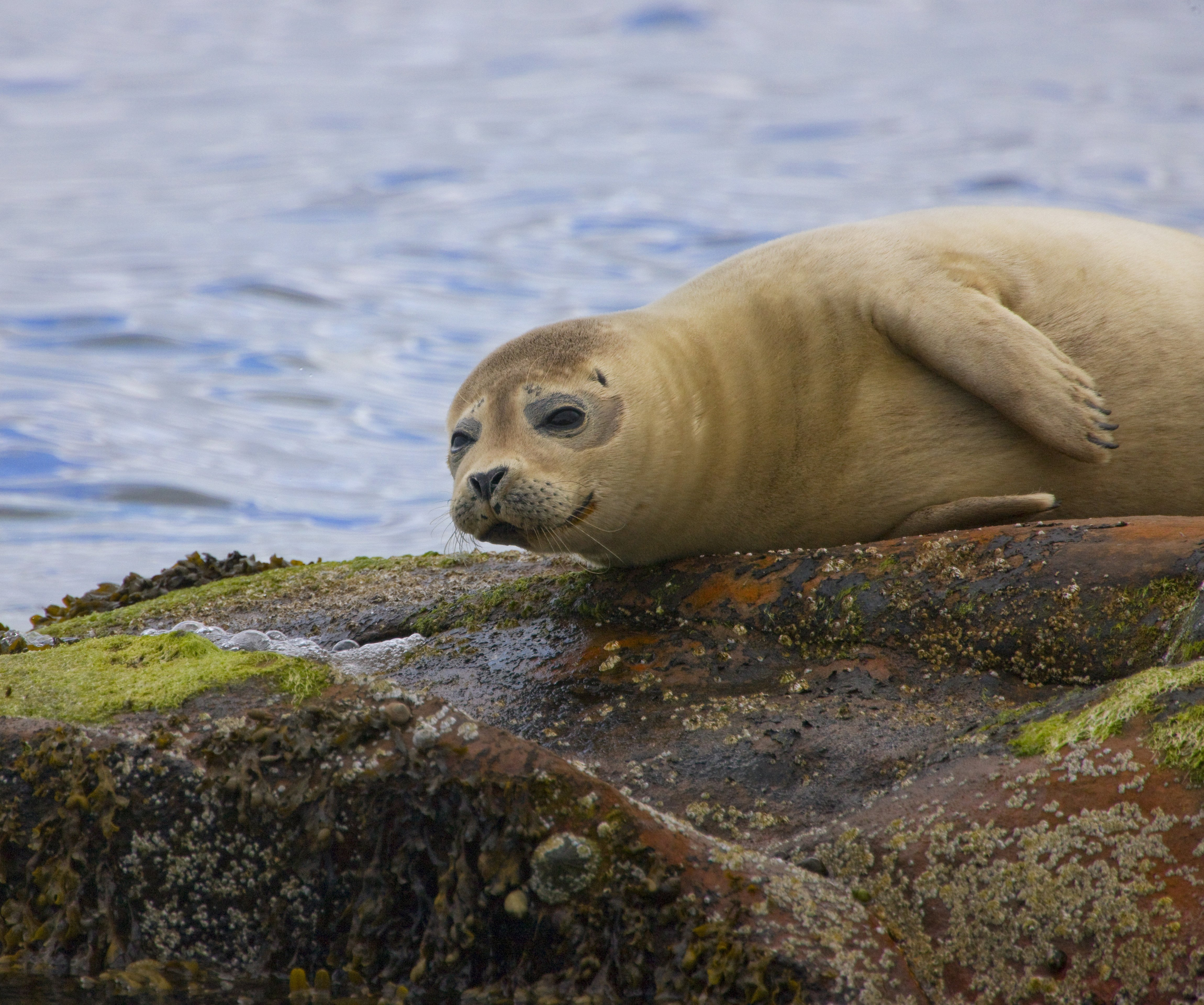 Seals are being shot to protect 'ethical' salmon being sold in UK supermarkets