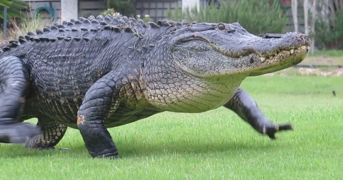 Alligator Casually Walks Across South Carolina Golf Course During Round Metro News