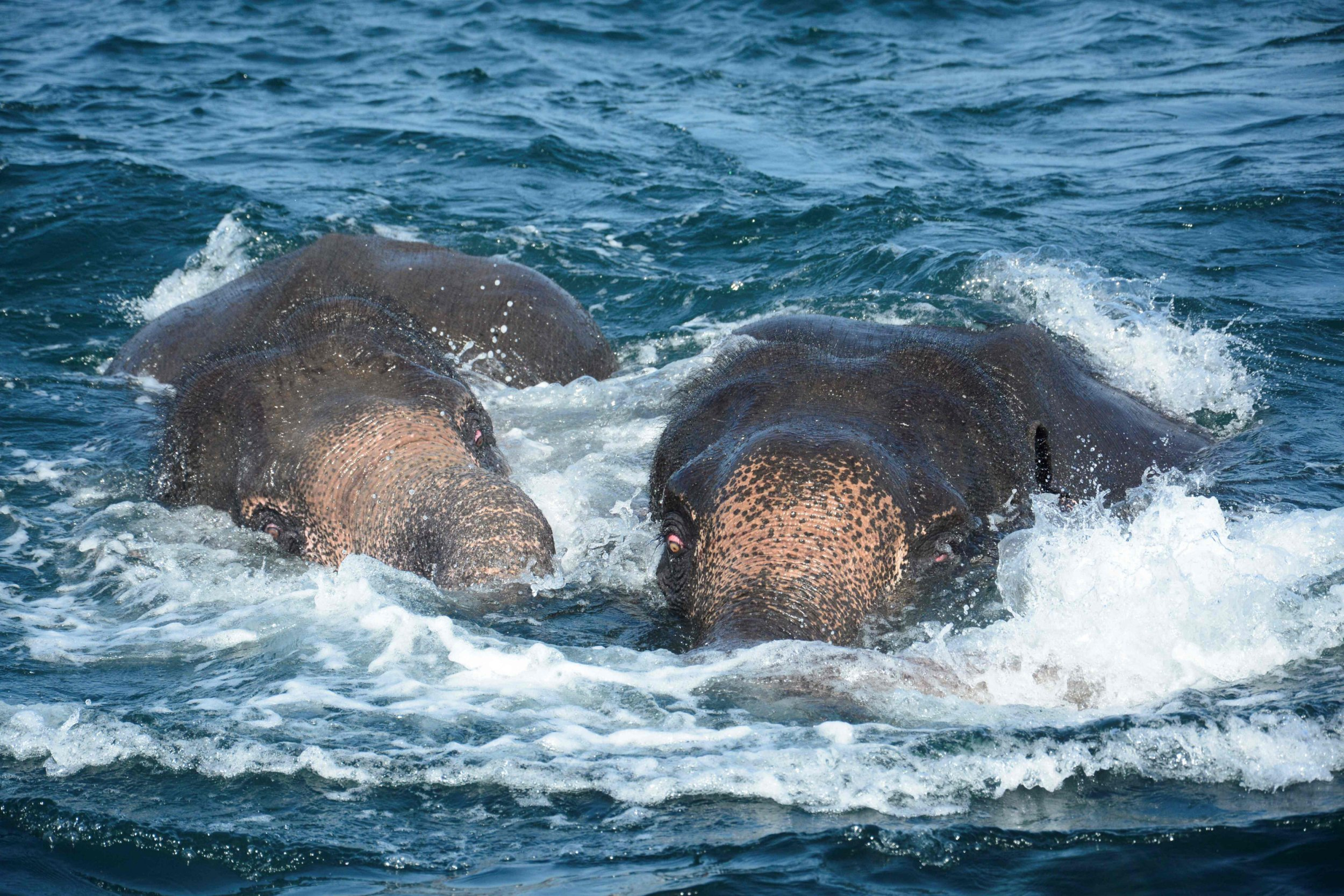 """In this handout photograph released by the Sri Lankan Navy on July 23, 2017, elephants spotted struggling to stay afloat in deep water swim as they are guided by Sri Lankan navel personnel back to shore a kilometre off the island's northeast coast. Two young elephants washed out to sea were saved from drowning July 23 by the Sri Lankan navy in the second such incident off the island in as many weeks. The navy said the pair of wild elephants were brought ashore after a """"mammoth effort"""" involving navy divers, ropes and a flotilla of boats to tow them back to shallow waters. RESTRICTED TO EDITORIAL USE - MANDATORY CREDIT """"AFP PHOTO / SRI LANKAN NAVY"""" - NO MARKETING NO ADVERTISING CAMPAIGNS - DISTRIBUTED AS A SERVICE TO CLIENTS - NO ARCHIVE - XGTY / AFP PHOTO / STR / RESTRICTED TO EDITORIAL USE - MANDATORY CREDIT """"AFP PHOTO / SRI LANKAN NAVY"""" - NO MARKETING NO ADVERTISING CAMPAIGNS - DISTRIBUTED AS A SERVICE TO CLIENTS - NO ARCHIVE - XGTYSTR/AFP/Getty Images"""