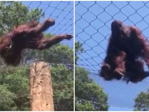 Ape filmed escaping from his enclosure at zoo