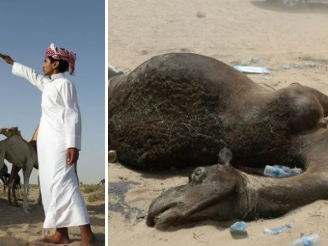 Heartbreaking pictures show camels that died from thirst after being kicked out by Saudis