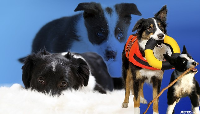 Border Collies that will brighten up your day