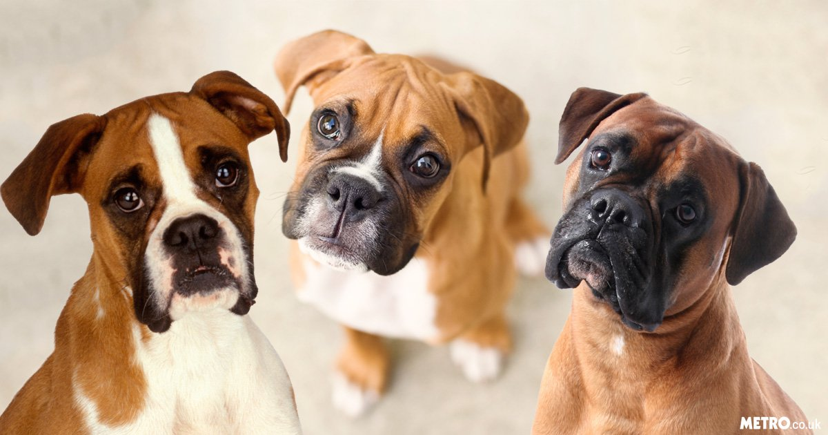 16 things boxer dog owners know | Metro News
