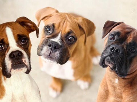 The 16 things you know if you own a boxer dog
