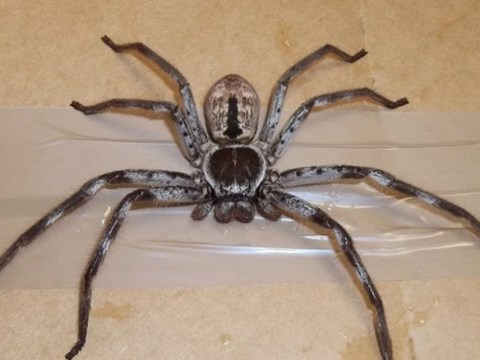 Enormous Huntsman spider found in family's luggage