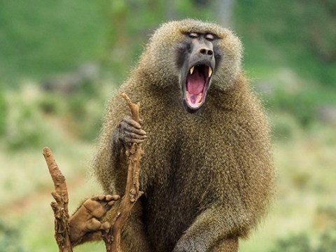 Baboon leaves 50,000 people with no power