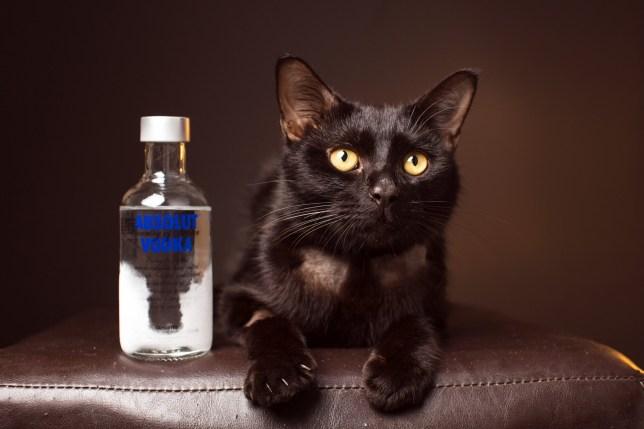 Cat survived antifreeze attack with vodka in Queensland, Australia
