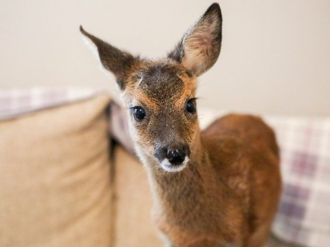 This orphaned deer has been banned from watching TV at its new home
