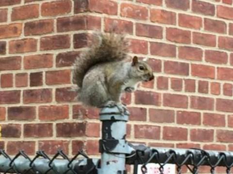 An 'unusually aggressive' squirrel has Brooklyn under siege