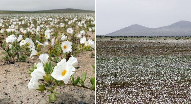Desert erupts in floral beauty after unexpected rain falls in driest place on Earth