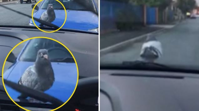 Lazy pigeon hitches a ride on car bonnet