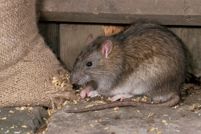 Rats chew through internet fibre cables cutting off broadband in