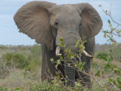 Big game hunter trampled to death by elephant he was trying to kill