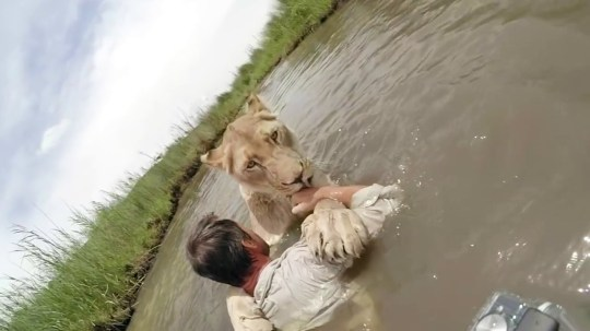 Lioness Jumps Into Arms Of Lion Whisperer Kevin Richardson