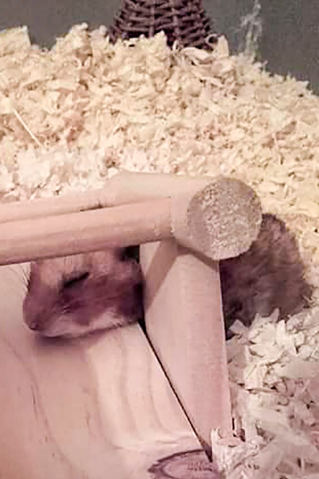 Hamster Dies After Being Crushed By Its Own Seesaw In Suffolk Metro News