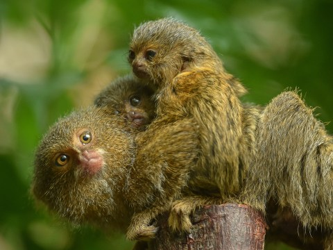 World's smallest monkey gives birth to tiny twin babies