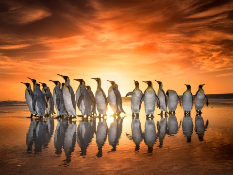 Penguins' sunrise march as they head for an early-morning swim