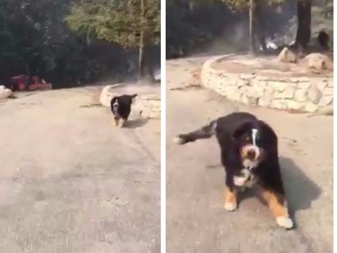 Heartwarming moment dog is found alive in rubble after wildfire