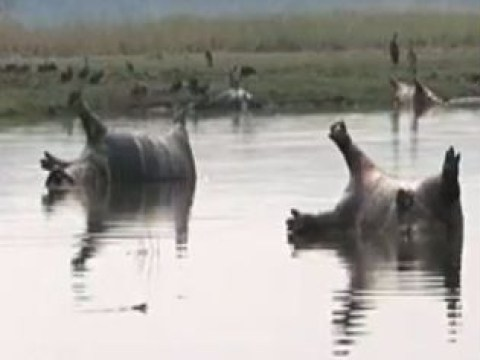 Over 100 hippos 'killed by anthrax' as photos show them dead in river