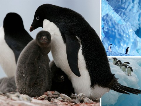Thousands of baby penguins starve to death in Antarctica