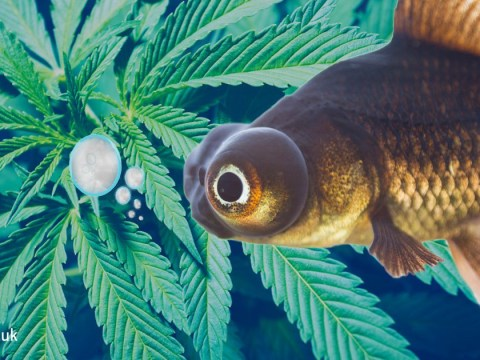 Stressed out fish were given weed to calm them down