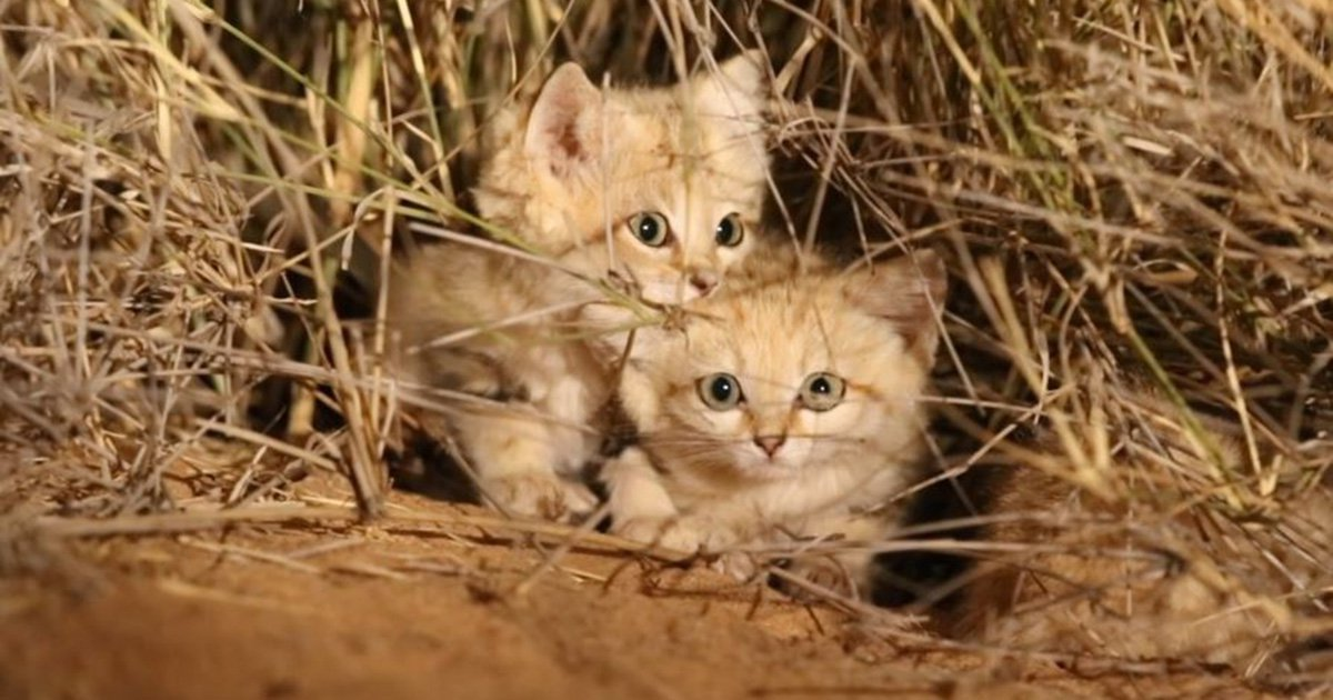 Adorable sand cat kittens caught on camera for first time
