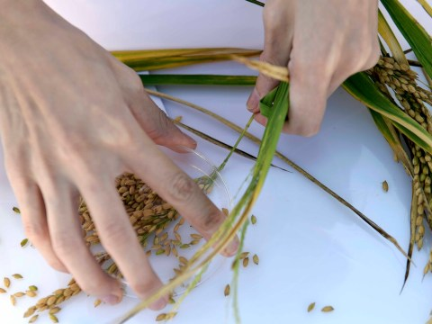 New saltwater-tolerant rice could 'help feed 200m people'