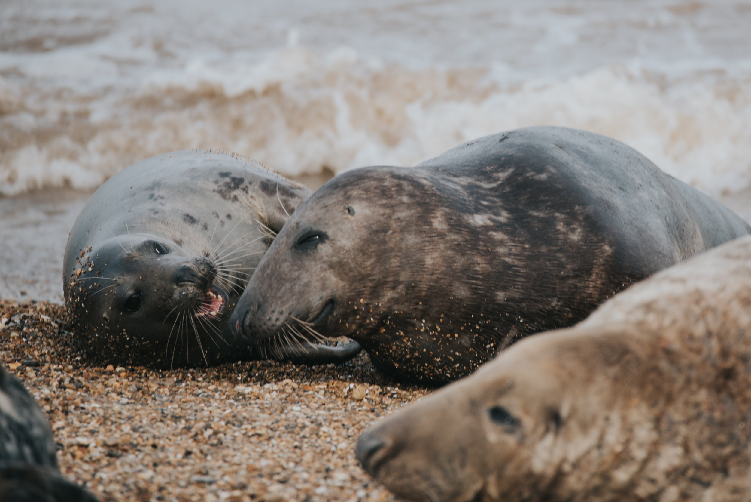 Storms wipe out two thirds of a Welsh island's seal population