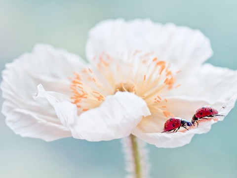 Where can I buy a white poppy and what do they stand for?