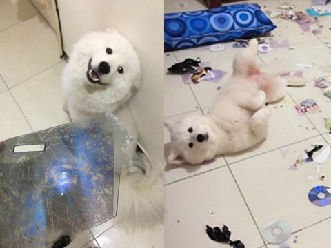 Disapproving dog destroys owner's collection of porn