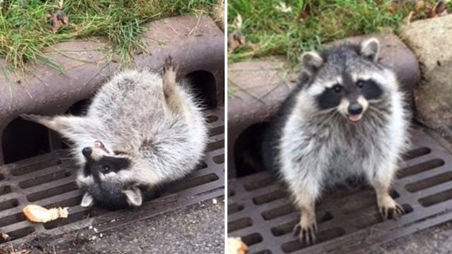 Chubby raccoon ate too much and got stuck in a sewer