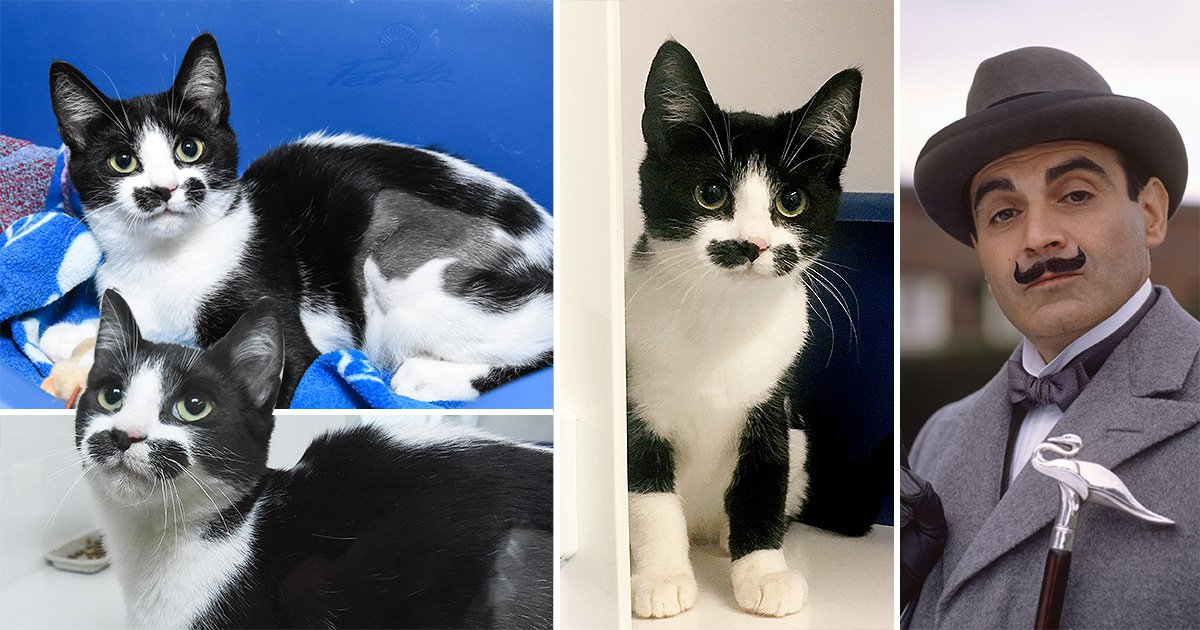 You just missed out on the chance to adopt a kitten that looks like Poirot