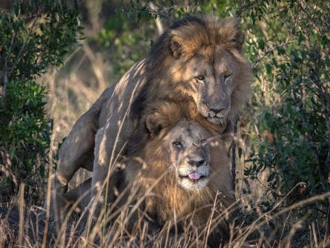 Dear Australia, these lions having sex are saying yes to gay pride