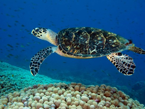 Fed up with your job? Move to the Maldives and look after turtles