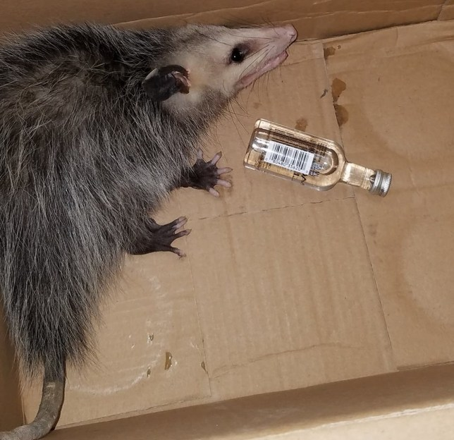 Opossum snuck into alcohol shop, stole bourbon, smashed it and drank it