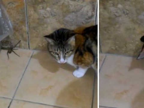 Fearless cat takes on 10-inch spider after it shows up in bathroom