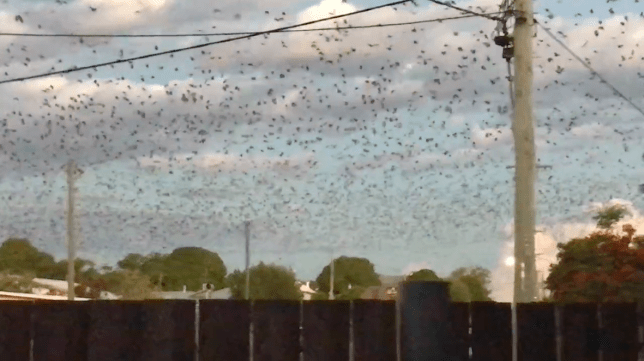 Thousands of bats overrun the town of Charters Towers, Queensland