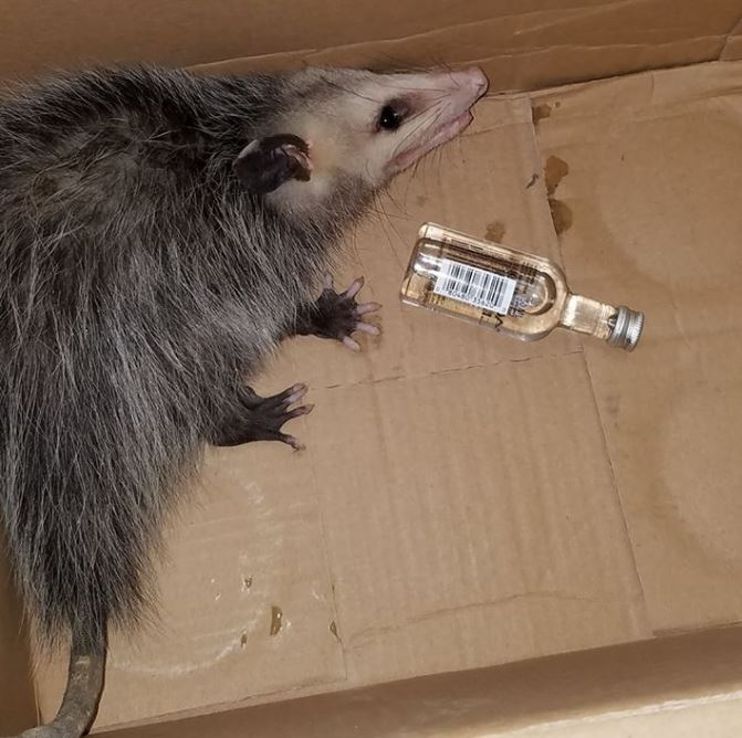 My Possum Problem, and How it Finally Ended