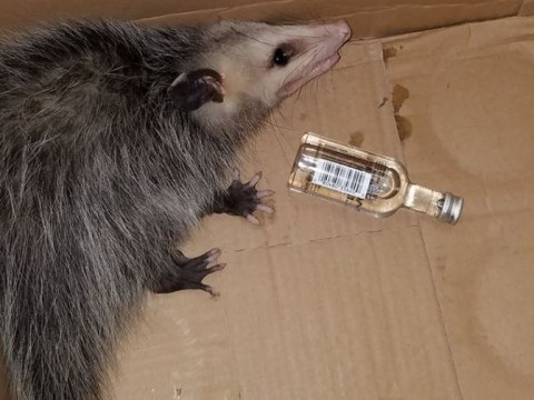 Opossum breaks into shop and gets hammered on bourbon whiskey