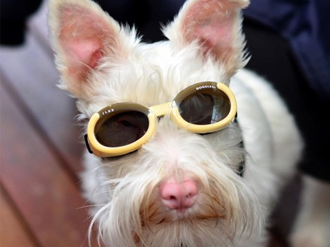 Albino dog has to wear sunglasses as too much sunlight could kill him