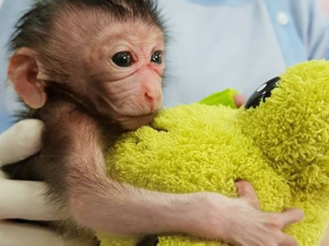 Abandoned baby monkey found on brink of death clings to teddy as she's nursed back to health