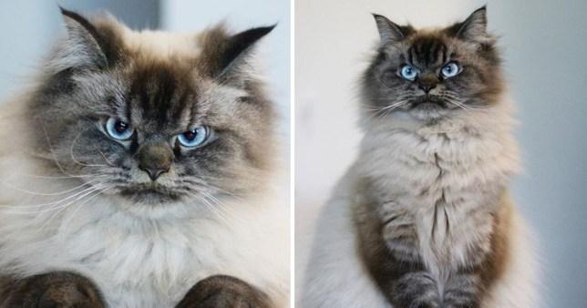 Meet Merlin the Ragdoll cat, the grumpiest feline you'll ever see