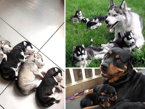 Looks at these super proud dogs posing with their newborn litters