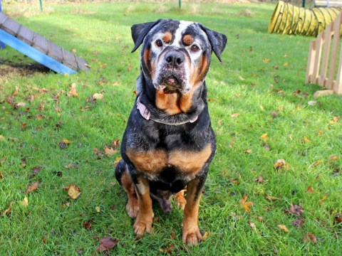 Beautiful rottweiler with vitiligo is looking for his forever home