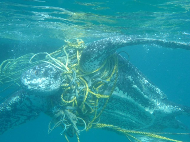 Over 1,000 turtles killed every year by plastic waste in the
