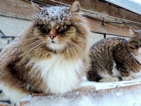 Siberian cats take over farm and turn it into Catland